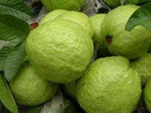 Ổi nữ hoàng là loại trái cây ngon nhất hiện nay. Ăn thường xuyên giúp hạ đường huyết, phòng trị bệnh đái tháo đường, cải thiện chức năng tim mạch.