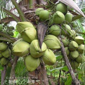 Dưa xiêm lùn xanh giống dừa phổ biến, vỏ mỏng, có màu xanh, nước có vị ngọt, thanh.