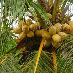 Dừa ẻo nâu kích thước nhỏ, vỏ màu nâu, nước ngọt, dùng làm kem dừa, rau câu và tạo quan cảnh cho du lịch sinh thái