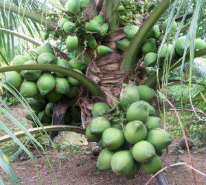 Dừa xiêm lục chất lượng ngon nhất, vỏ mỏng, màu xanh đậm, nước rất ngọt. Nhiều vitamin C, B1 và khoáng chất