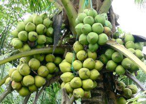 Trái dừa có nguồn gốc từ tự nhiên, vừa bổ dưỡng vừa vô trùng, tính hàn, tác dụng làm mát, giải nhiệt cơ thể.