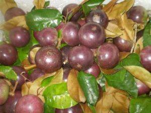 Vú sữa tím than một loại trái có màu tím nhạt, vị ngọt thơm, dai, giòn, ít mủ, ít hạt, vỏ cứng